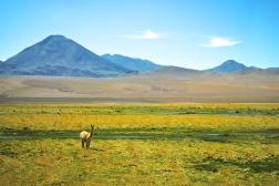Chilean landscape & Llama