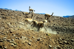 Vicuña males fighting for dominance