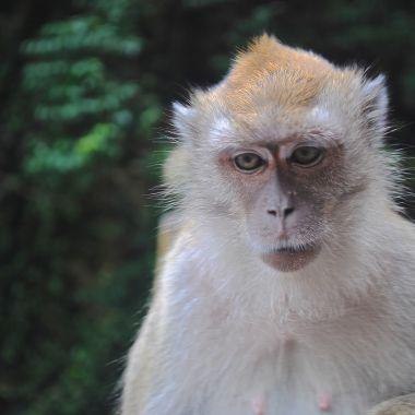 Macaques at Batu Caves